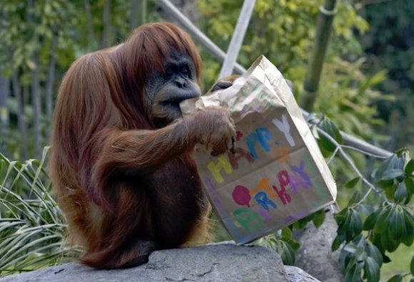 birthdayorangutan